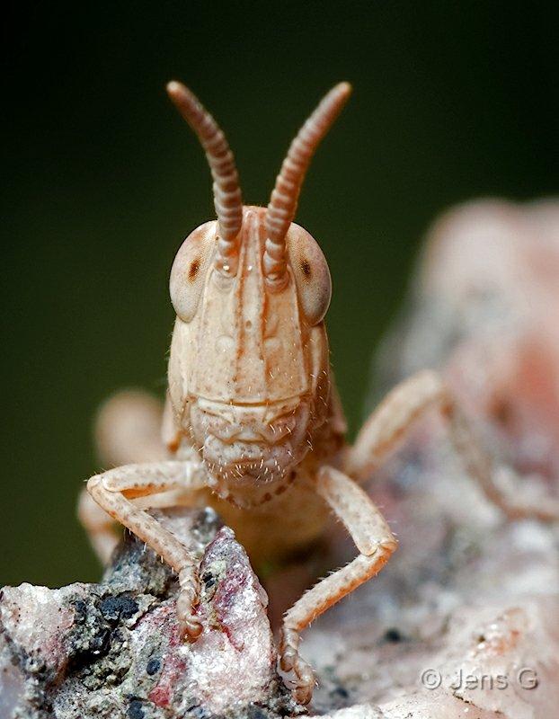 Venlig græshoppe