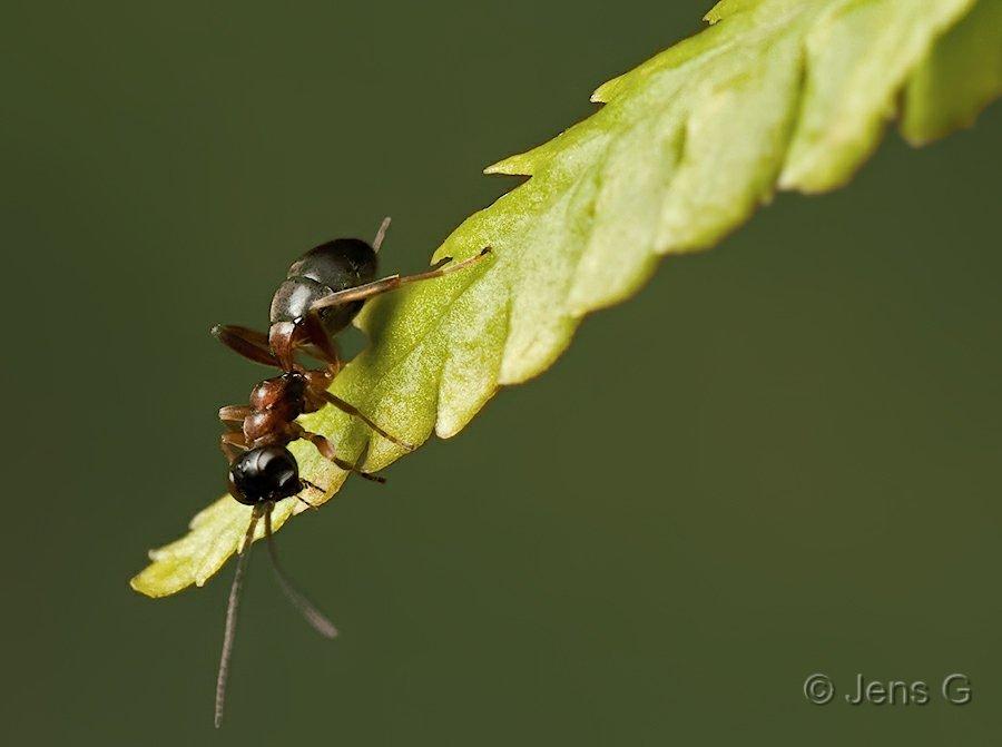 Myre der sidder på et bregneblad og kigger ned