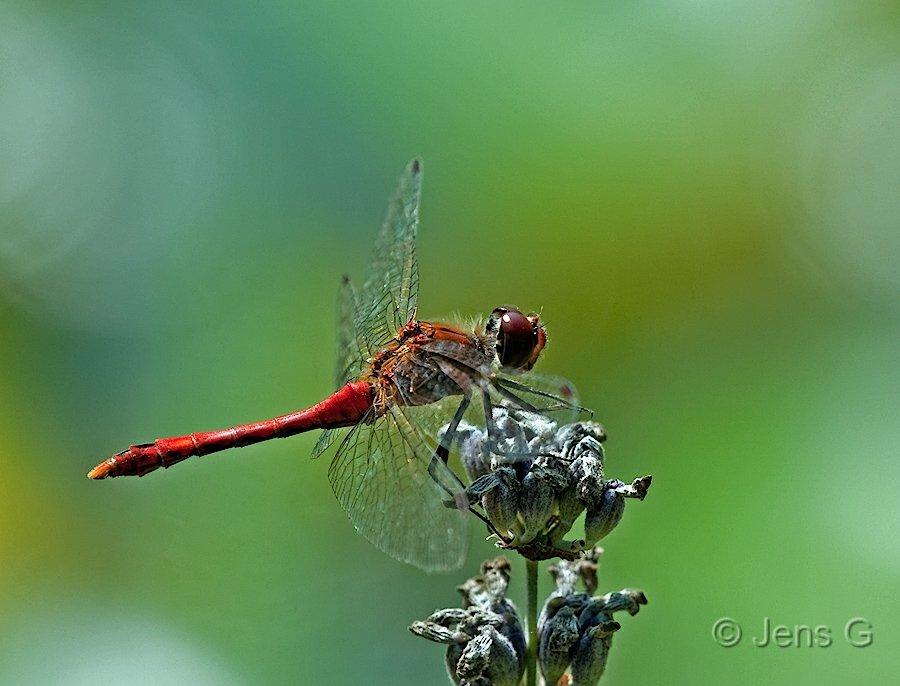 Rød Hedelibel