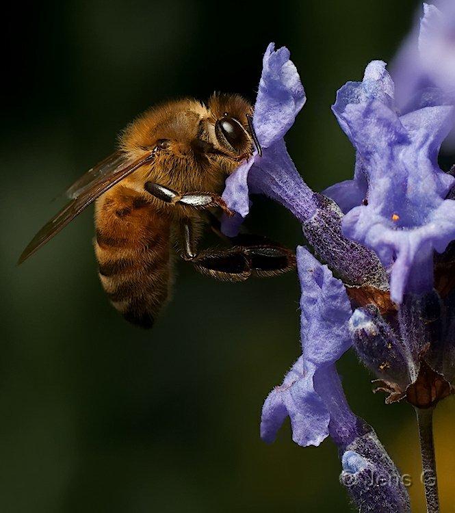 Bi med snuden i en blomst