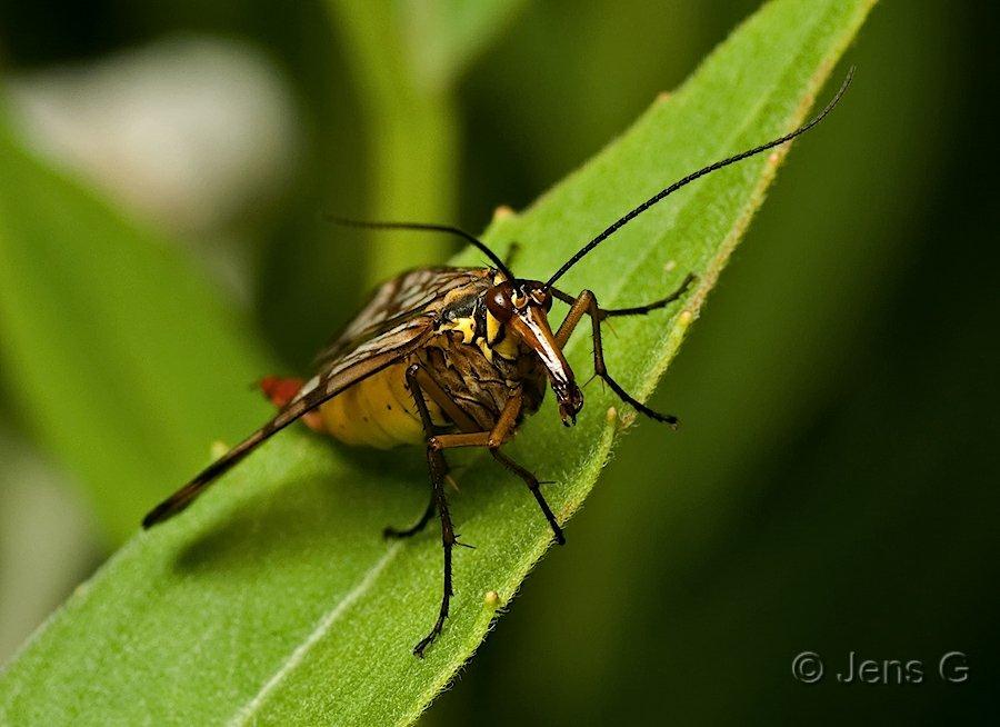 Skorpionflue