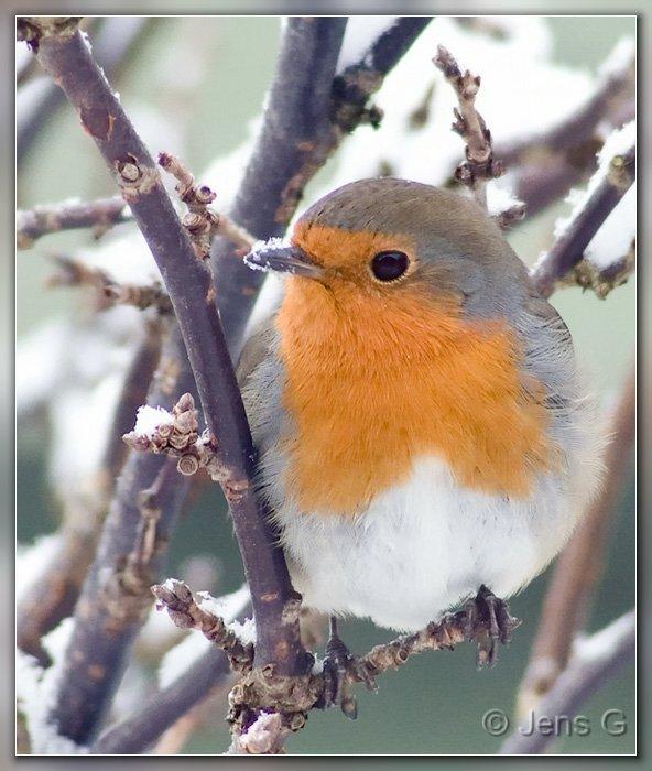 Rødhals med sne på næbbet