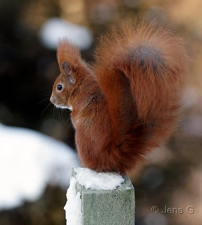 Egern der sidder stolpe med sne