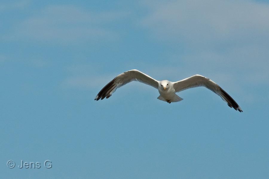 Flyvende måge