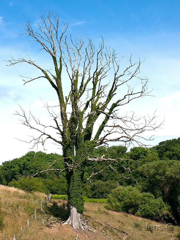 Udgået træ med vedbend