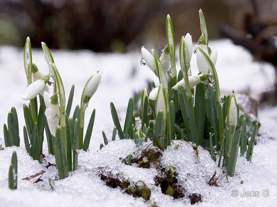 Vintergækker med knopper i sne