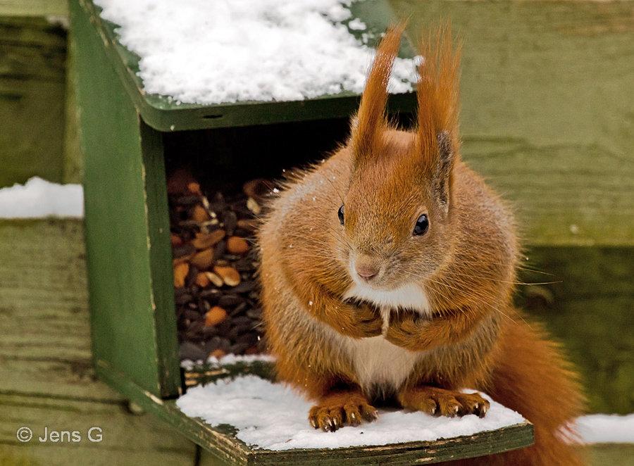 Egern på foderkassen