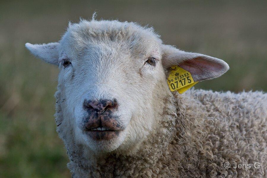 Nærbillede af får