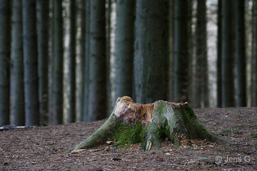 Træstub i skoven