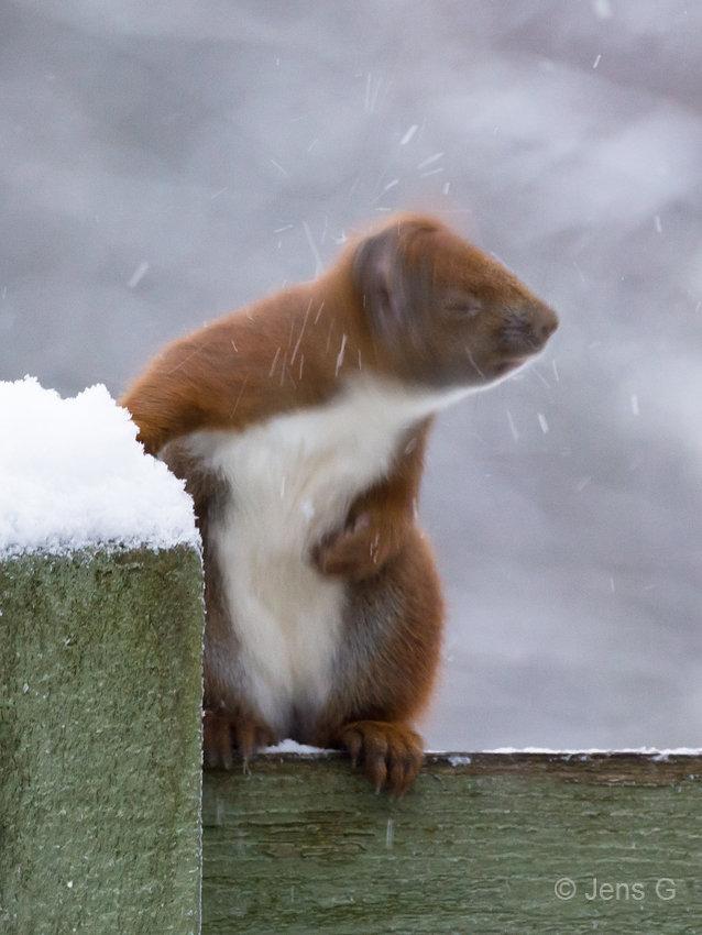 Egern på et plankeværk mens det ryster sne af hovedet