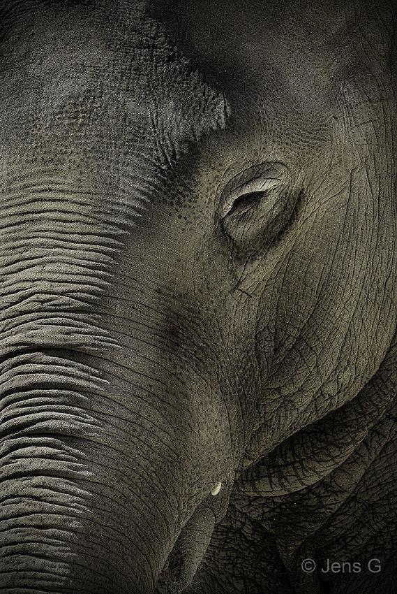 Elefant nærbillede