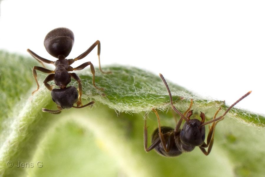 Myrer der kigger fra hver deres side af et blad