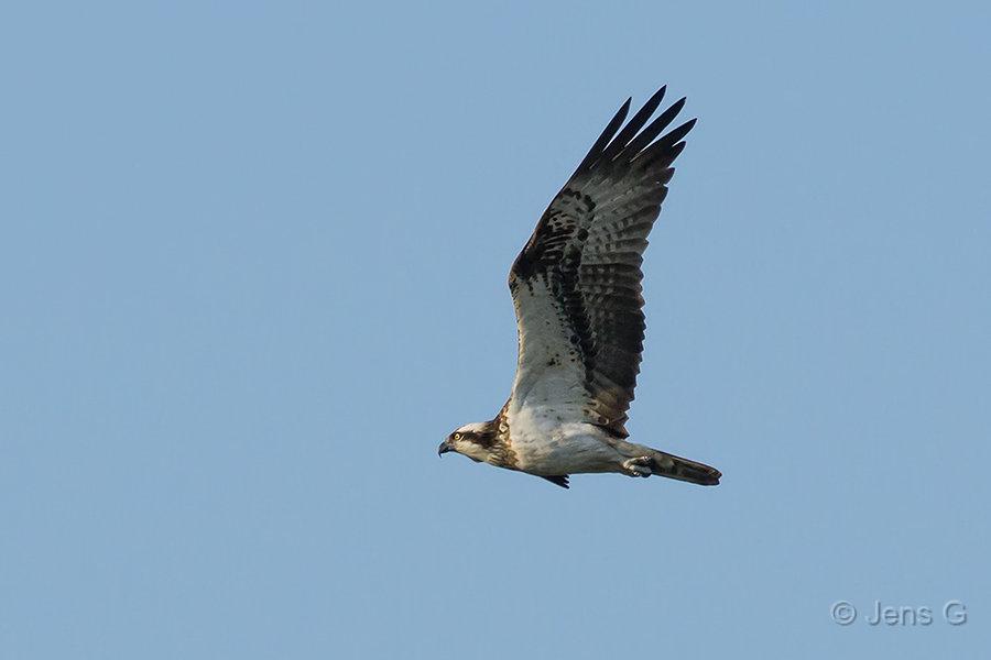 Flyvende fiskeørn