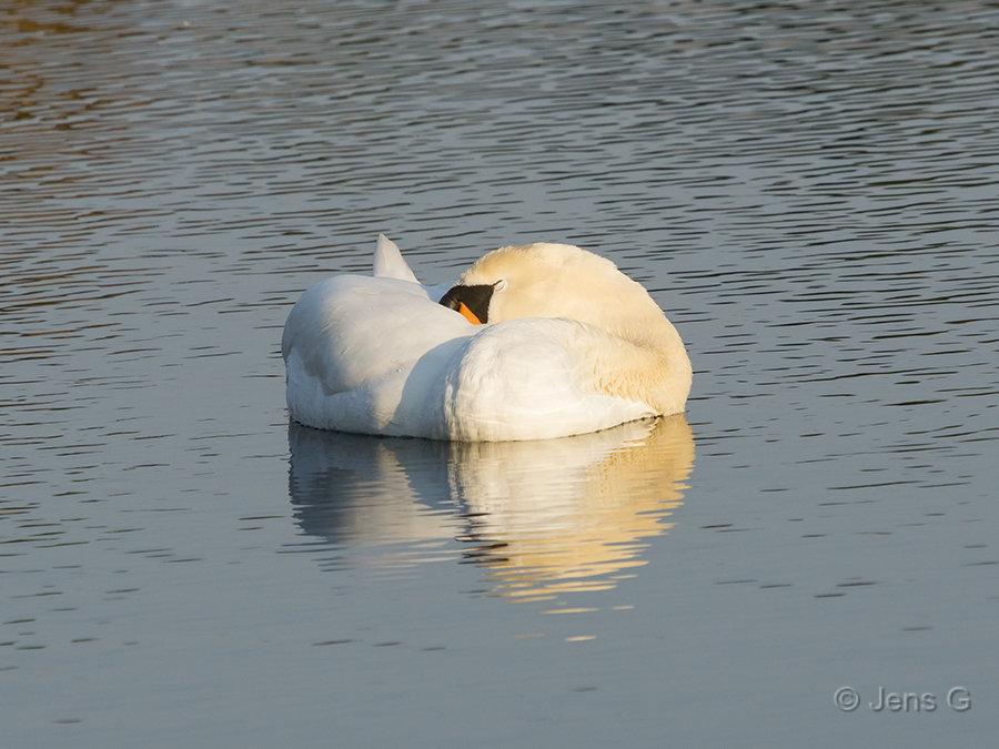 Sovende knopsvane på vandet