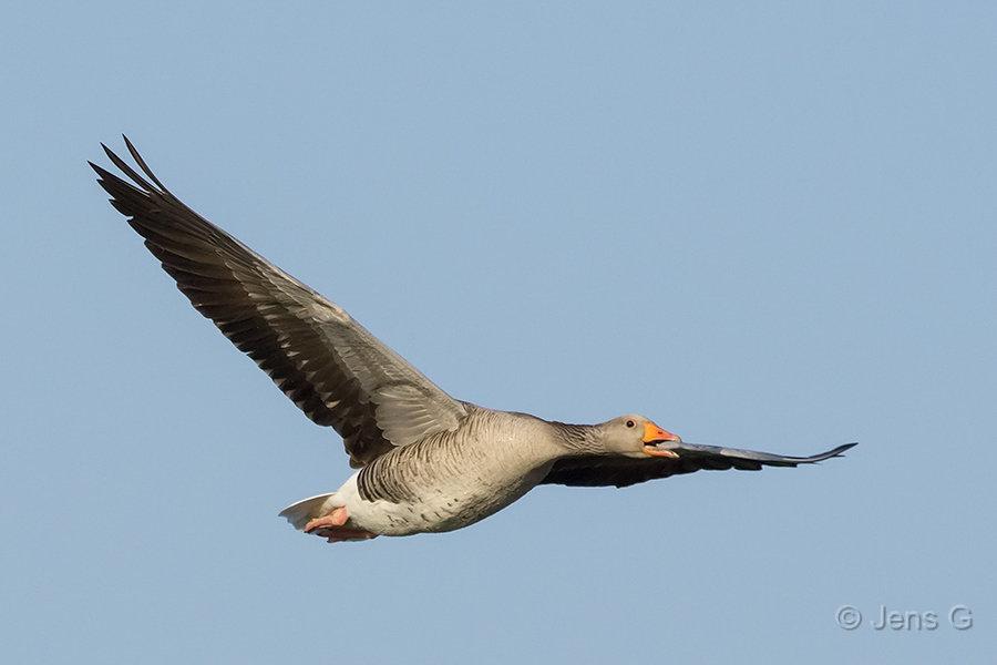 Flyvende grågås