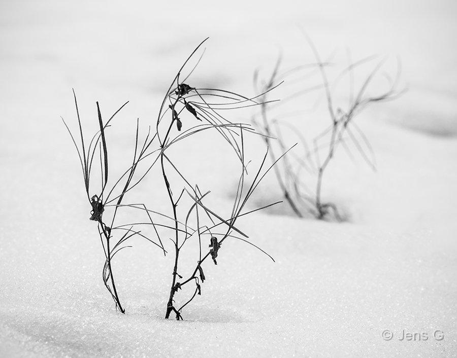 Vissent ukrudt der stikker op gennem sneen