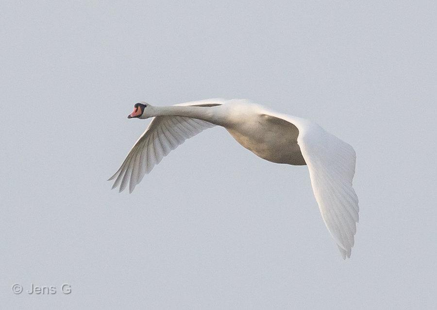 Flyvende knopsvane i morgendis