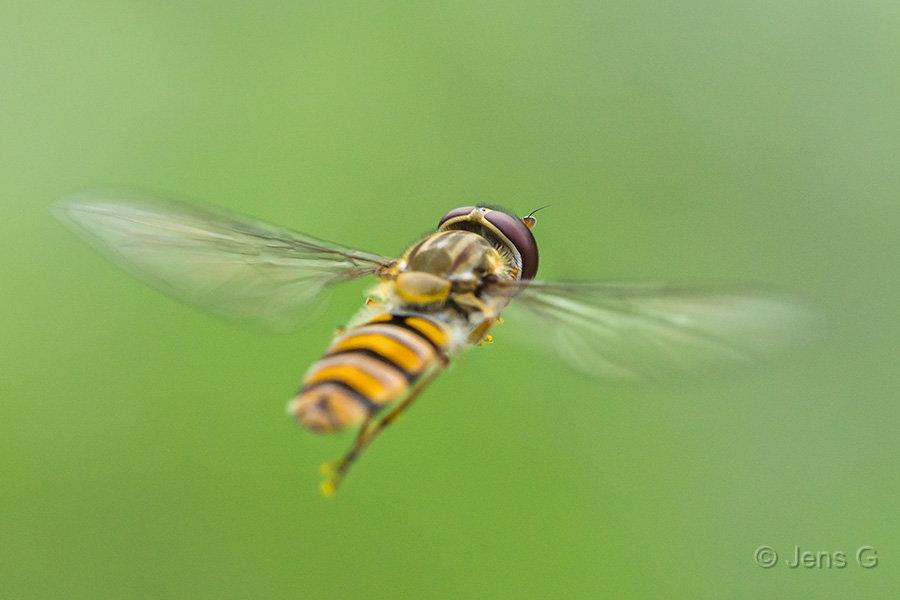 Flyvende svirreflue