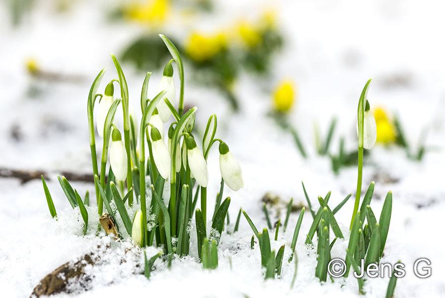 Vintergækker i sne med erantis i baggrunden