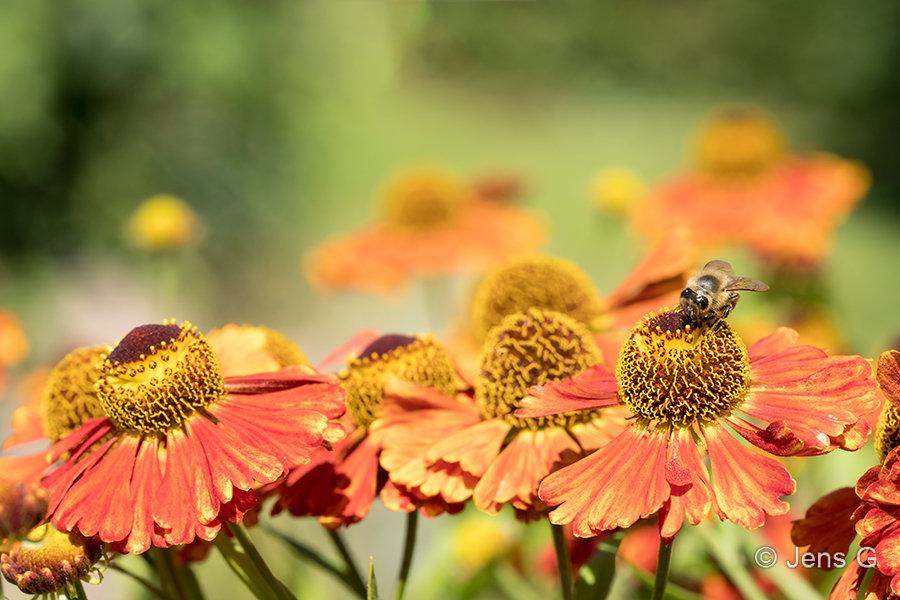 Solbrud blomster