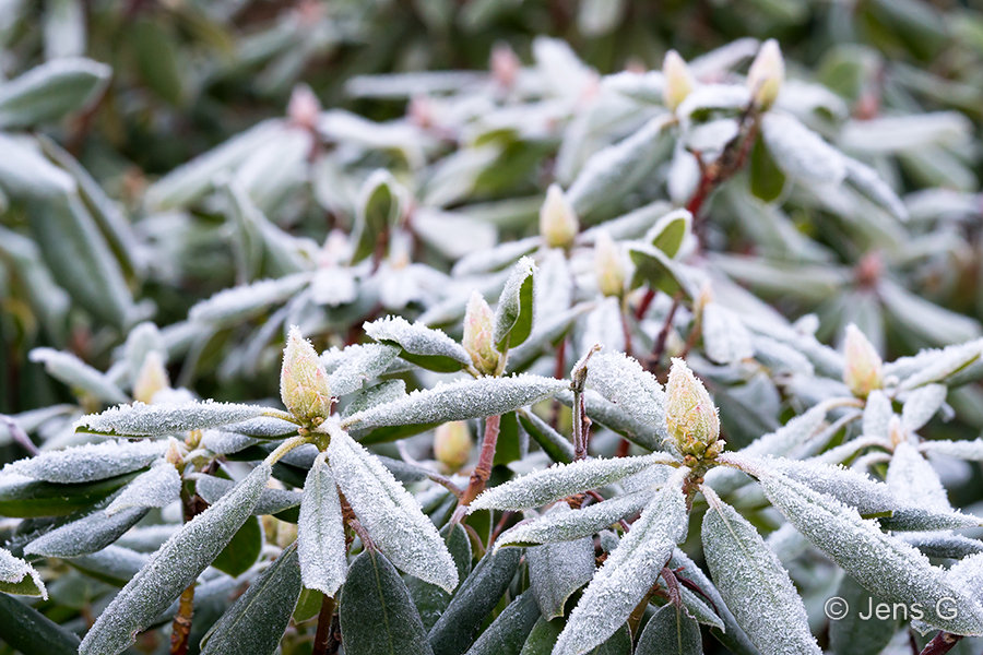 Rhododendron med rimfrost
