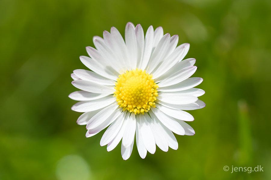 Bellis bloms