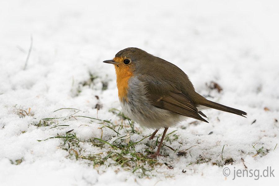 Rødhals i sneen