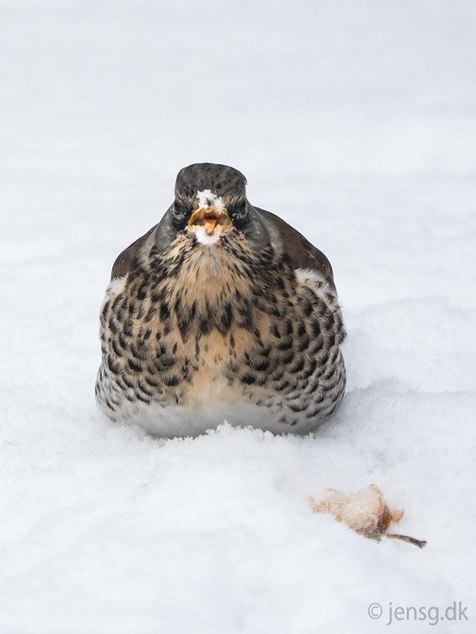 Sjagger i sneen