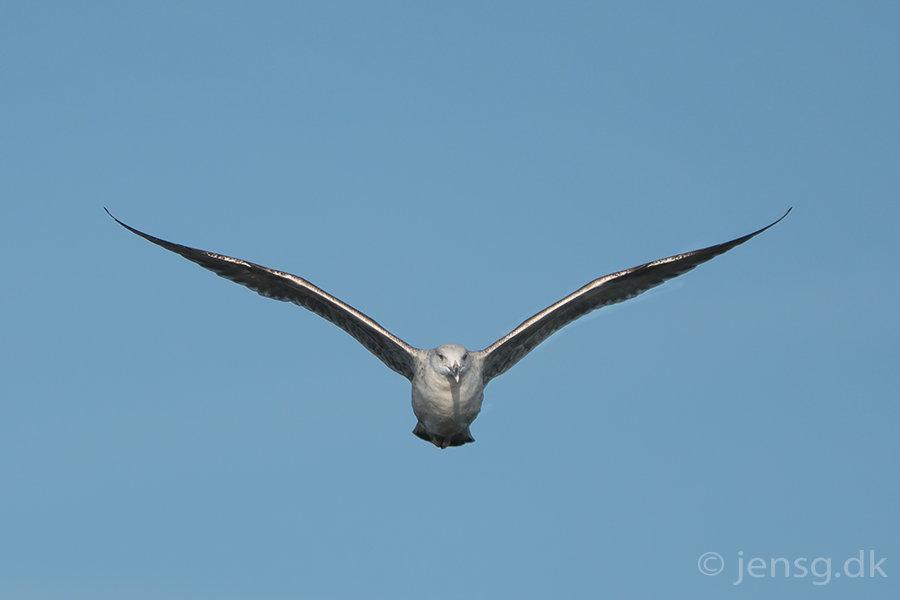 Flyvende sølvmåge