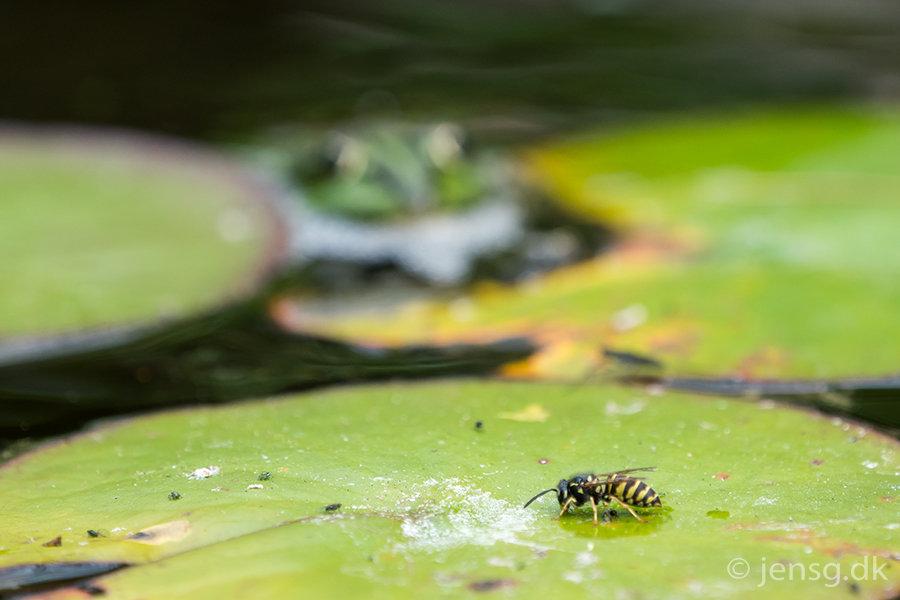 Hveps på åkandeblad med lurende grøn frø i baggrunden