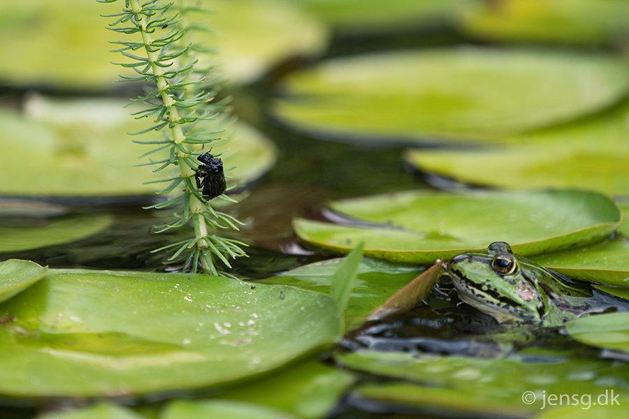 Grøn grø der lurer på en humæebi som har været i vandet