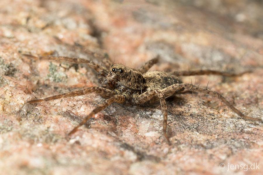 Lille edderkop