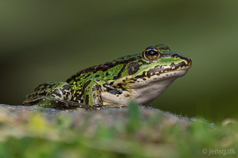 Grøn Frø