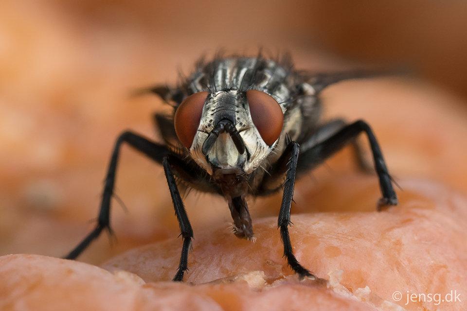 Portræt af en kødflue