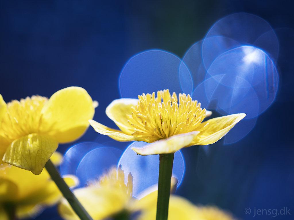 Engkabbeleje med blå baggrund