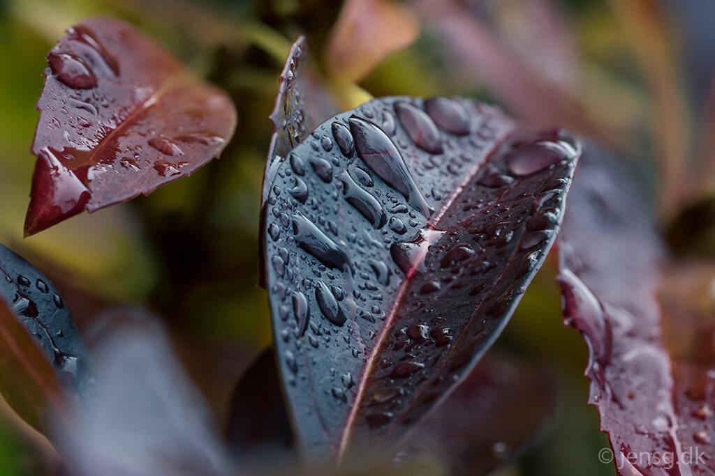 Forsythia blade i efterårsfarver