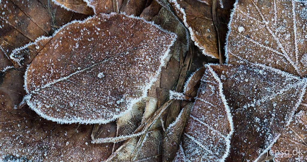 Visne blade med rimfrost
